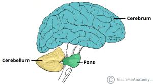 brain regions schematic